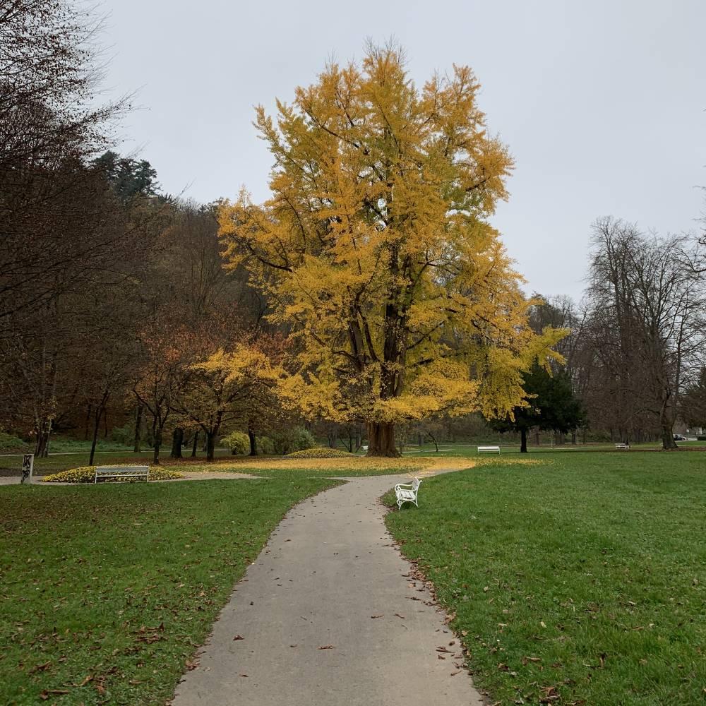 Ginko-v-mestnem-parku